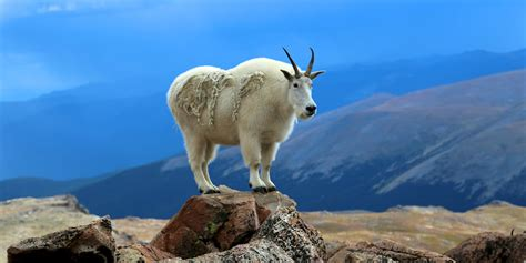 Mountain Goat - National Geographic