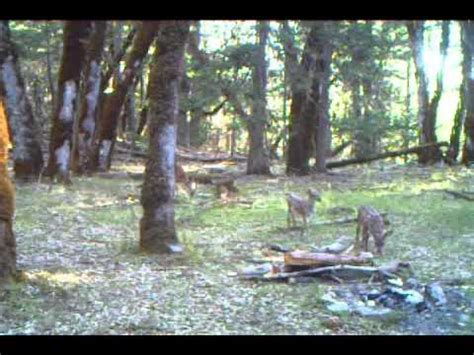 Bigfoot Trail Cam Video with Deer, Spotted Fawns and Bears